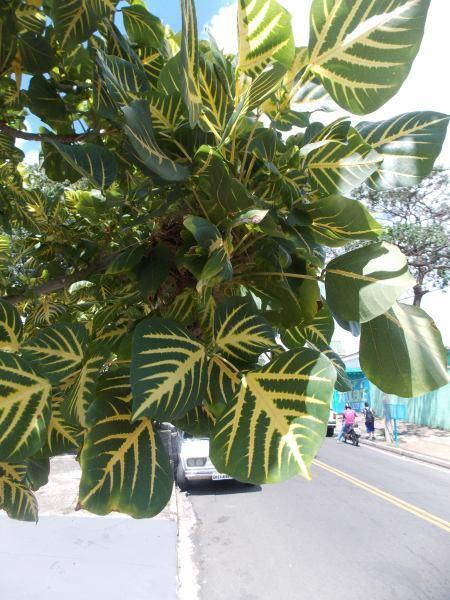 Eritrina Verde-Amarela, Erytrina Variegata