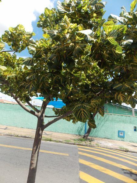 Eritrina Verde-Amarela, Erytrina Variegata (2)