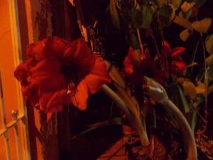 açucenas, noite, sem flash (2)