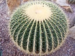 biznaga cactus, para girasol confitado