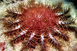 Estrela-do-mar-coroa-de-espinhos, comparar com a girassol