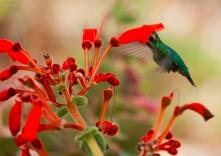 Sinningia magnifica (Otto & A.Dietr.) Wiehler. Foto Google. ///////// Fundação Jardim Botânico de Poços de Caldas. //// https://fotografoedersongodoy.blogspot.com.br/2015/04/colecao-de-geseneriaceae.html.